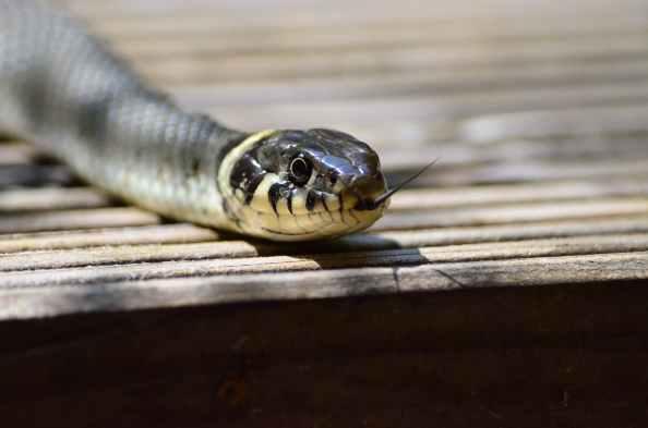 grass-snake-snake-snakehead-yellow-53964